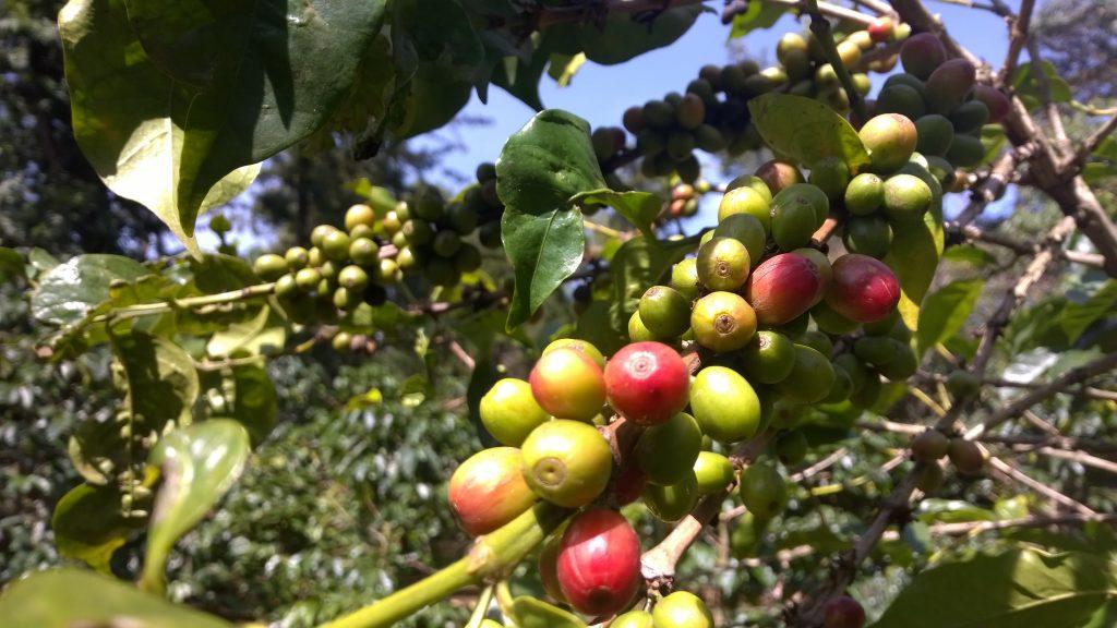 Kaffeepflanze mit Kaffeekirschen