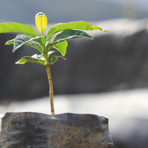 Junge Kaffeepflanze